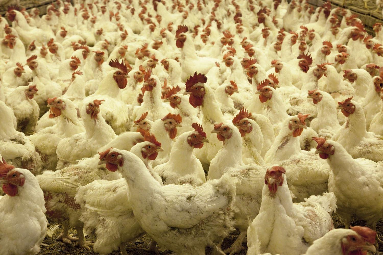 avicultura-sana>